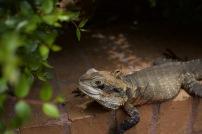 Lizard in Darling Harbour