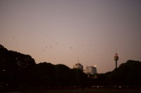 Bats flood the city at sundown