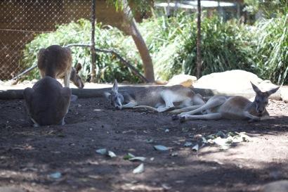 Kangaroos chilling