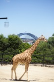 Giraffe with the best view of Sydney