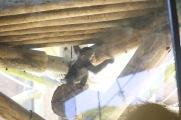 Baby chimp at Taronga Zoo